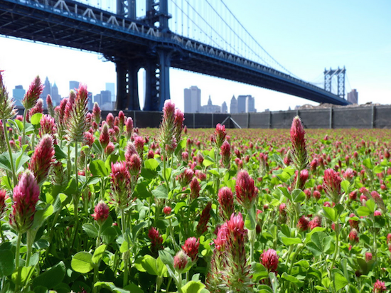 The beautiful DUMBO clover field