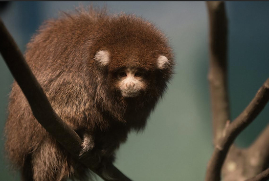 Two new Bolivian titi monkeys are living in the Prospect Park Zoo's Hall of Animals Building. Photo: Julie Larsen Maher © WCS