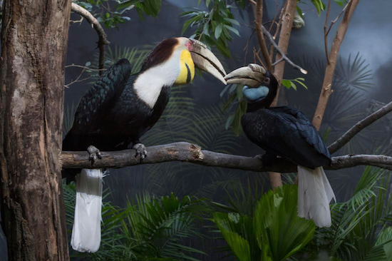 Guests will now be able to see WCS's Prospect Park Zoo's wreathed hornbill exhibit all year long. Julie Larsen Maher © WCS