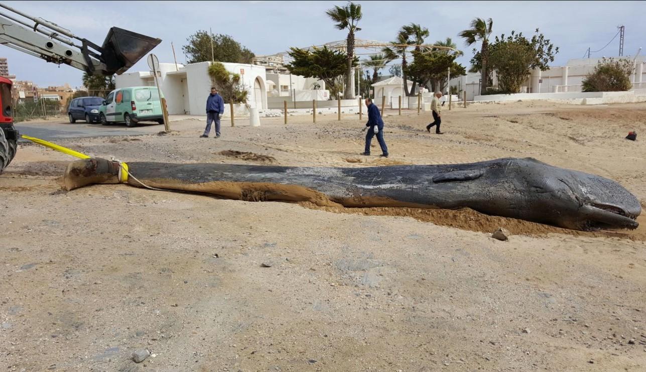 An emaciated dead sperm whale washed ashore in Spain after swallowing roughly 64 pounds of plastic. Photo courtesy of Dirección General de Medio Natural. Consejería de Turismo, Cultura y Medio Ambiente (Región de Murcia, España)