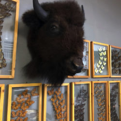 An American bison head is mounted on the wall along with several butterfly pieces. Eagle photo by Alex Wieckowski