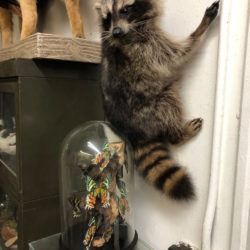 A raccoon taxidermy hangs on the wall inside the studio. Eagle photo by Alex Wieckowski
